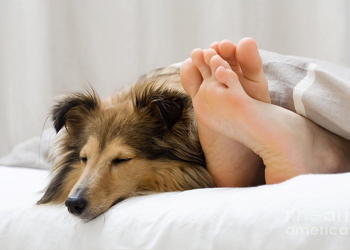 Bed Greeting Card featuring the photograph Sheltie Sleeping With Her Owner by Kati Molin