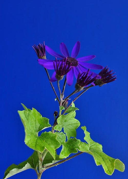 Senetti Greeting Card featuring the photograph Shooting Stars by Pepper Link