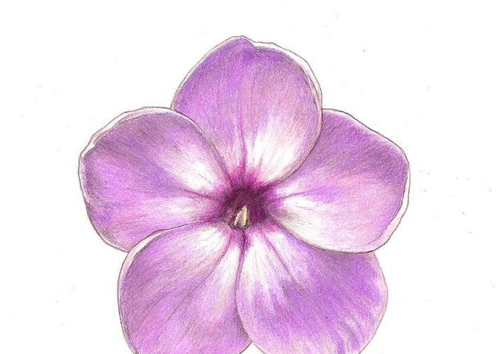 Phlox Greeting Card featuring the drawing Shortwood Phlox 2 by Steve Asbell