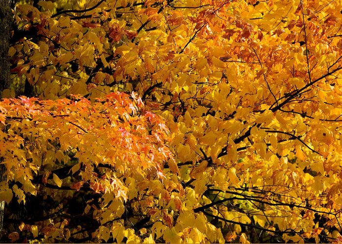 Yellow Leaves Greeting Card featuring the photograph Showing Off by Rich Franco