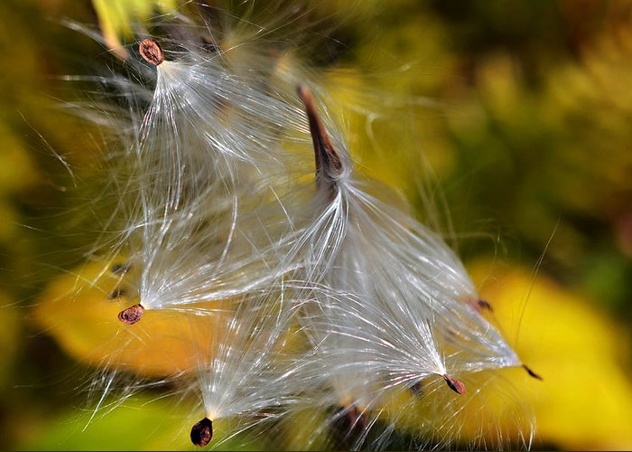 Plant; Weed; Milkweed; Asclepias Syrica; Perennial; Silk; Season; ; Fall; Colorful; Fluffy; Wild; Nature; Seeds; Pod; Group; Many Greeting Card featuring the photograph Silky Autumn by Susan Leggett