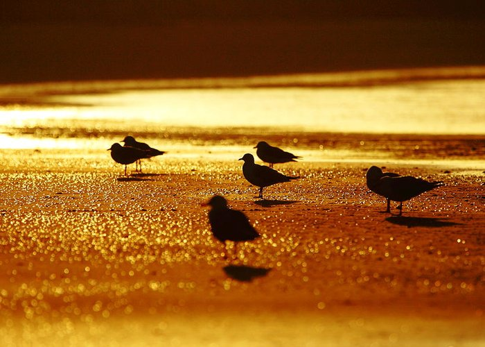 Silver Gull Greeting Card featuring the photograph Silver Gulls On Golden Beach by Andrew McInnes