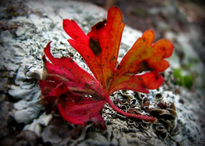 Prescott National Forest Greeting Card featuring the photograph Single Red Leaf by Aaron Burrows