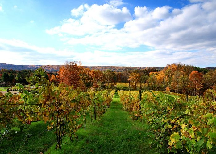Autumn Greeting Card featuring the photograph Six Miles Creek Vineyard by Paul Ge