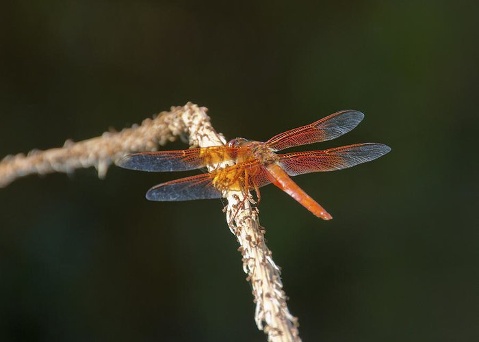 Dragonfly Greeting Card featuring the photograph Skimming Flame by Tim North