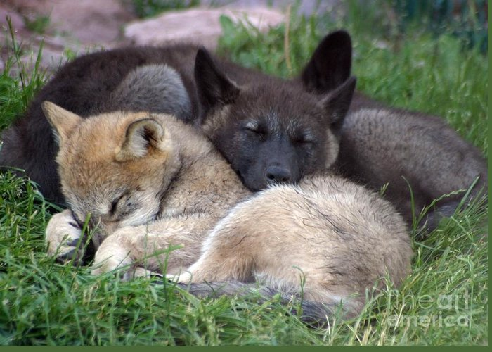 Coyotes Greeting Card featuring the photograph Slumber Buddies by Living Color Photography Lorraine Lynch