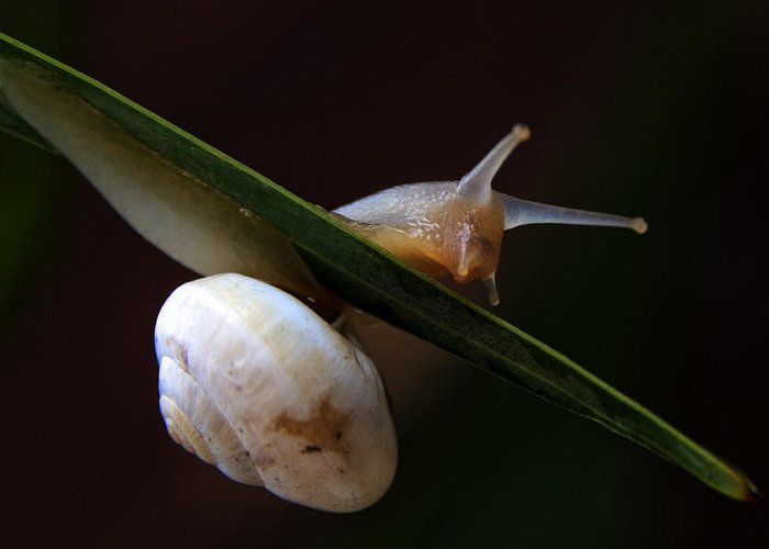 Animal Greeting Card featuring the photograph Snail by Stelios Kleanthous