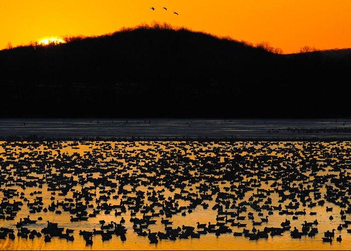 Canada Geese Greeting Card featuring the photograph Snow Geese Sunrise by Craig Leaper