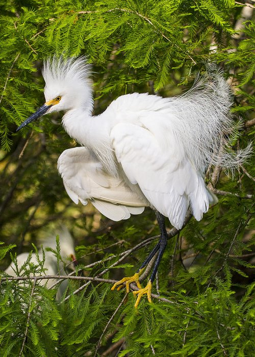 Snowy Egret Greeting Card featuring the photograph Snowy Egret In Breeding Plumage by Bill Swindaman