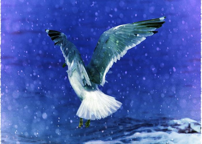 Seagulls Greeting Card featuring the photograph Snowy Seagull by Debra Miller