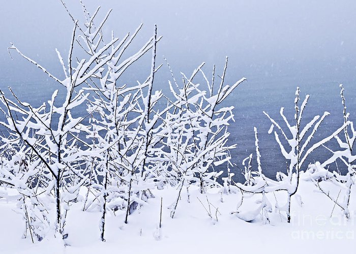 Winter Greeting Card featuring the photograph Snowy Trees by Elena Elisseeva