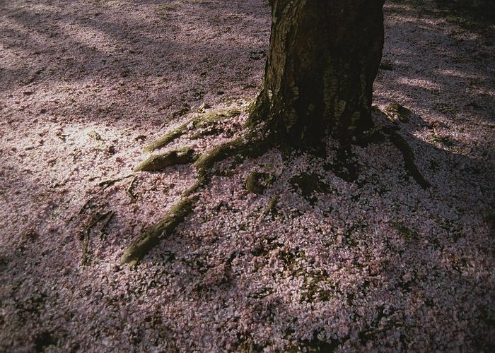 Plants Greeting Card featuring the photograph Soft Light On A Pink Carpet Of Fallen by Stephen St. John