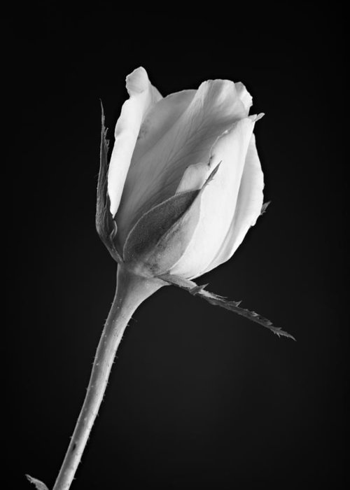 Rose Greeting Card featuring the photograph Soft Rose Black And White by M K Miller