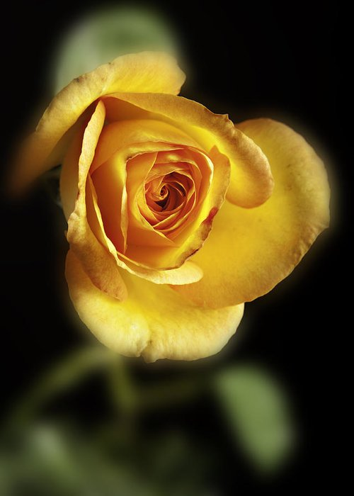 Rose Greeting Card featuring the photograph Soft Yellow Rose On Black by M K Miller