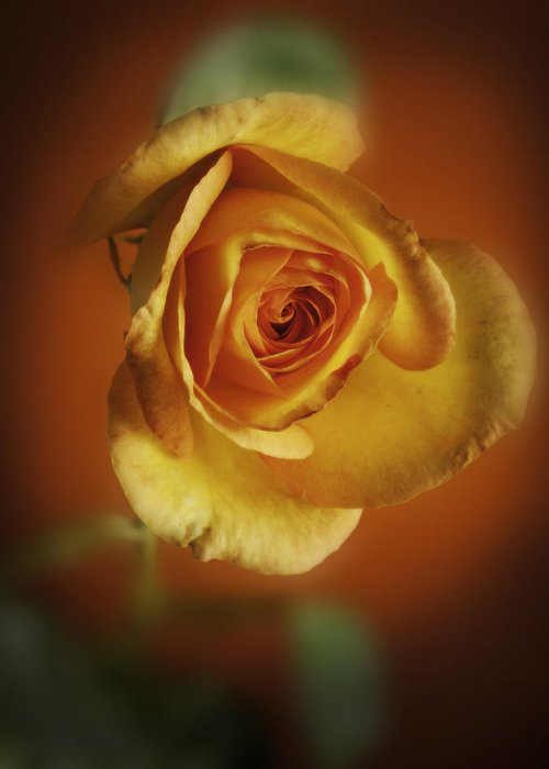Rose Greeting Card featuring the photograph Soft Yellow Rose Orange Background by M K Miller