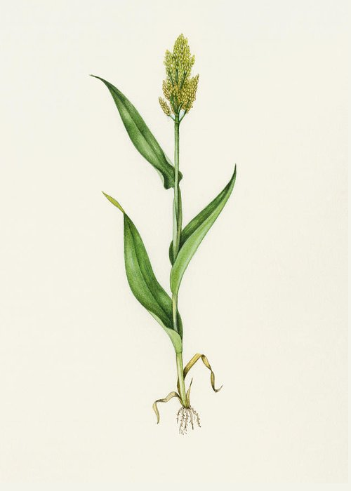 Sorghum Bicolor Greeting Card featuring the photograph Sorghum (sorghum Bicolor), Artwork by Lizzie Harper