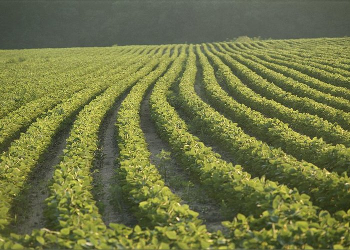 Foods Greeting Card featuring the photograph Soybean Crop Ready To Harvest by Brian Gordon Green