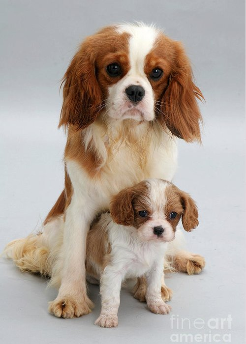 Animal Greeting Card featuring the photograph Spaniels by Jane Burton
