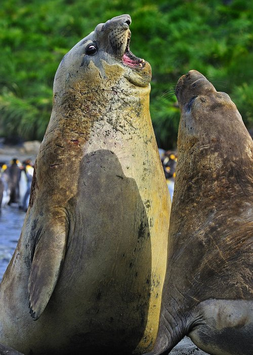 Southern Elephant Seal Greeting Card featuring the photograph Sparring by Tony Beck
