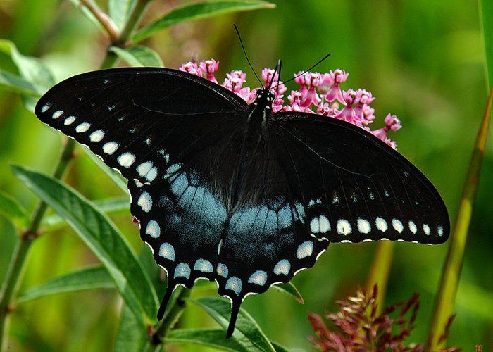 Nature Greeting Card featuring the photograph Spicebush Swallowtail Din038 by Gerry Gantt