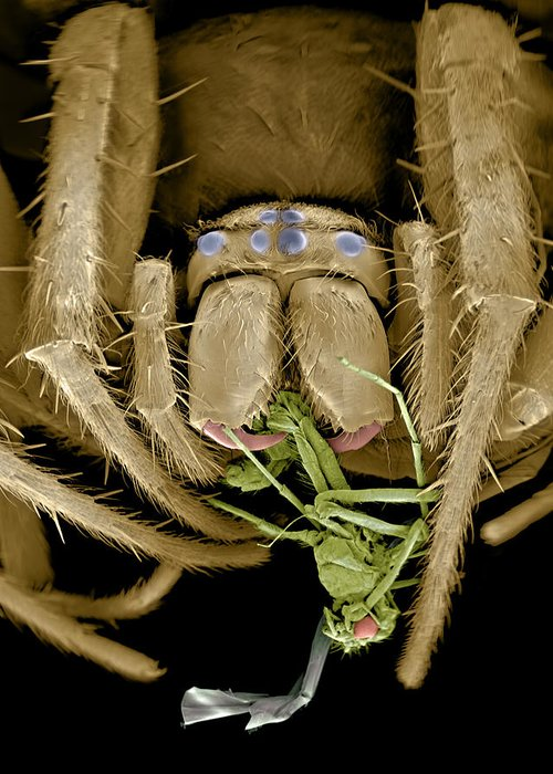 Coloured Greeting Card featuring the photograph Spider Eating A Fly, Sem by Volker Steger