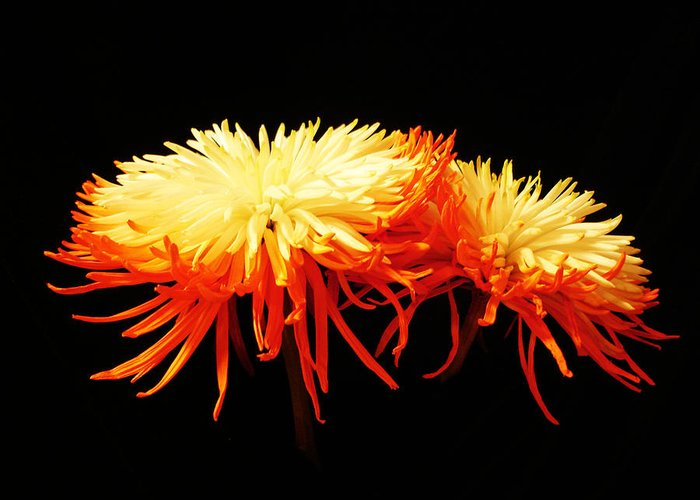 Macro Greeting Card featuring the photograph Spider Mums by Yvonne Scott