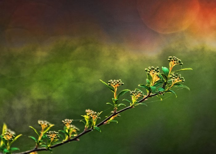Spirea Greeting Card featuring the photograph Spirea Sunset by Brenda Bryant