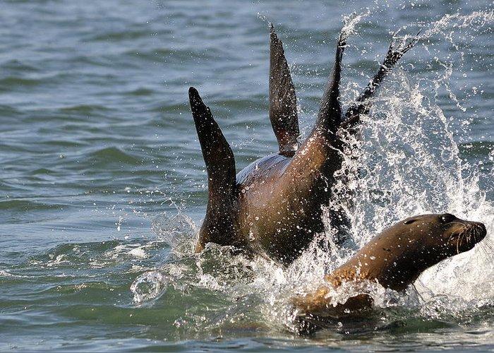 Sea Lions Greeting Card featuring the photograph Splashdown by Fraida Gutovich