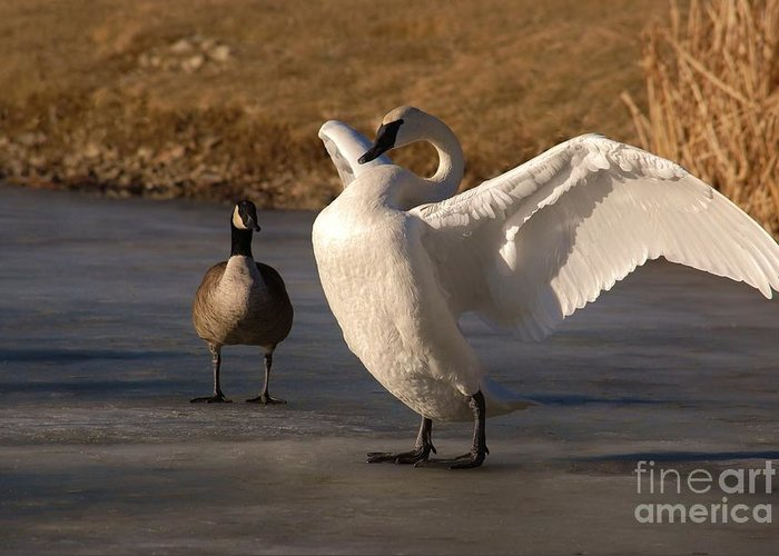 Trumpeter Swan Greeting Card featuring the photograph Splendid Beauty by Joy Bradley