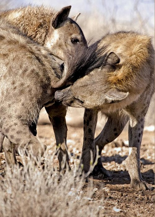 Laughing Hyena Greeting Card featuring the photograph Spotted Hyena Greeting Ritual by Tony Camacho