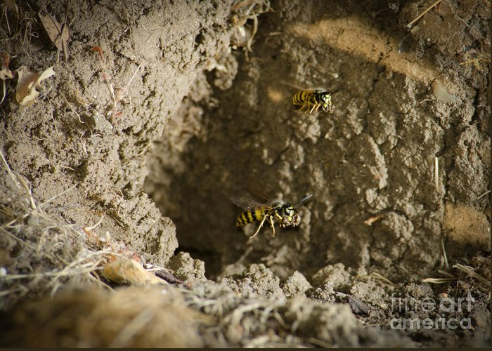 Wasp Greeting Card featuring the photograph Spring Cleaning Pair Of Wasps Carrying Mud From A Yellow-jacket Wasps Nest by Andy Smy