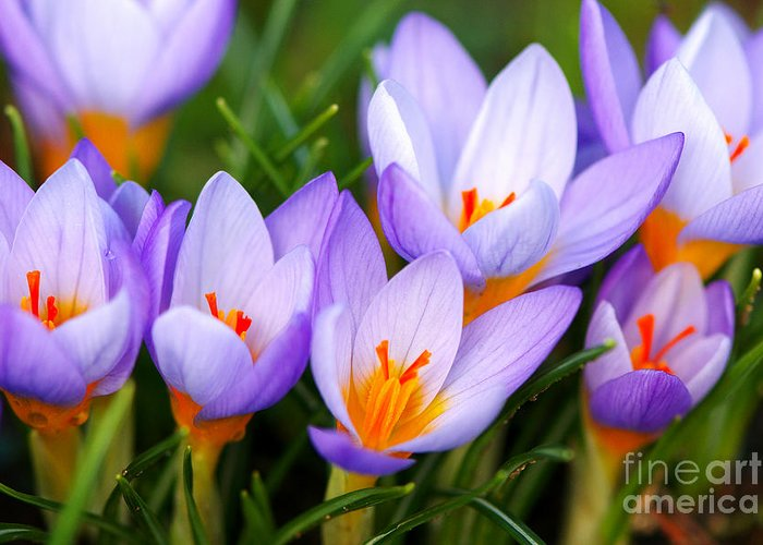 Crocus Greeting Card featuring the photograph Spring Song by Sharon Talson