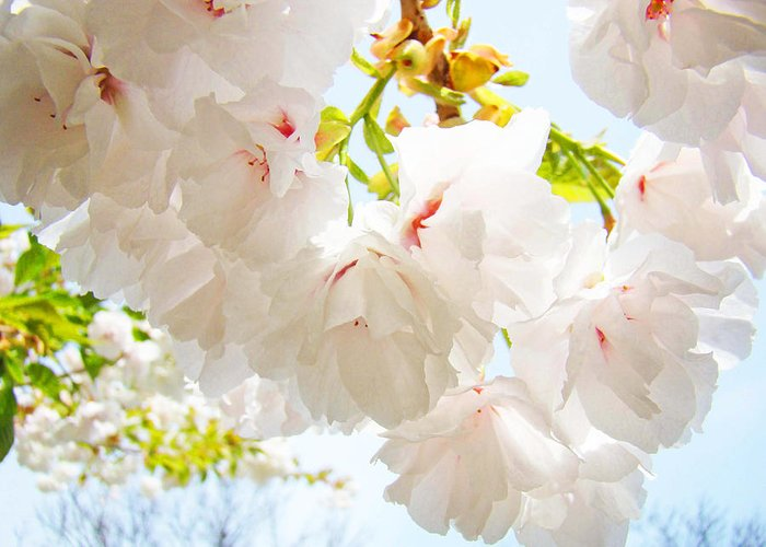Spring Greeting Card featuring the photograph Spring White Pink Tree Flower Blossoms by Baslee Troutman