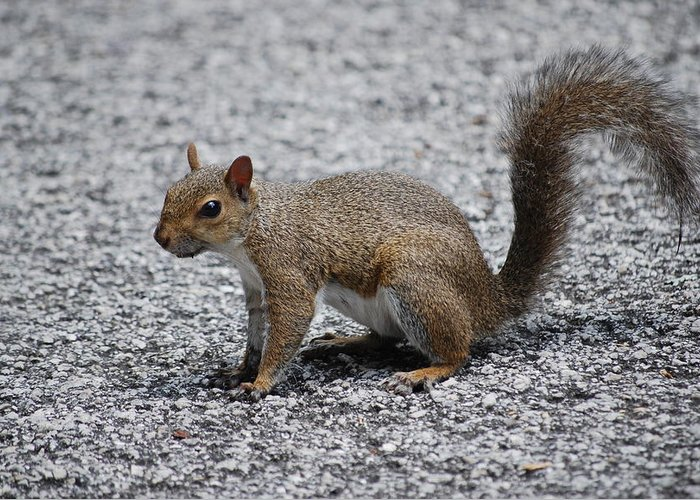 Squirrel Greeting Card featuring the photograph Squirrel On A Road by Carrie Munoz