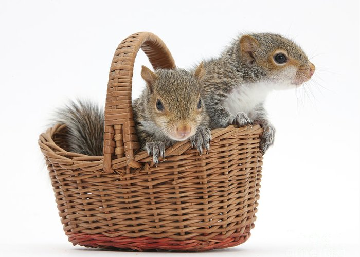 Nature Greeting Card featuring the photograph Squirrels In A Basket by Mark Taylor