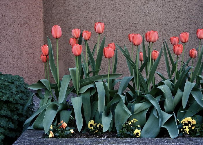 Tulips Greeting Card featuring the photograph Standing At Attention by David Ritsema