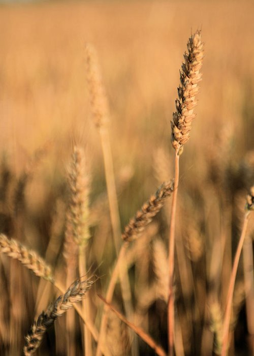 Stand Out From The Crowd Wheat Weat Grain Grains Farm Farmer Farmers Delmarva Maryland Md Chesapeake City Bay Different Difference Bread Basket Heatland Country Rustic Americana Kansas Ks Greeting Card featuring the photograph Standing Out In A Crowd by JC Findley