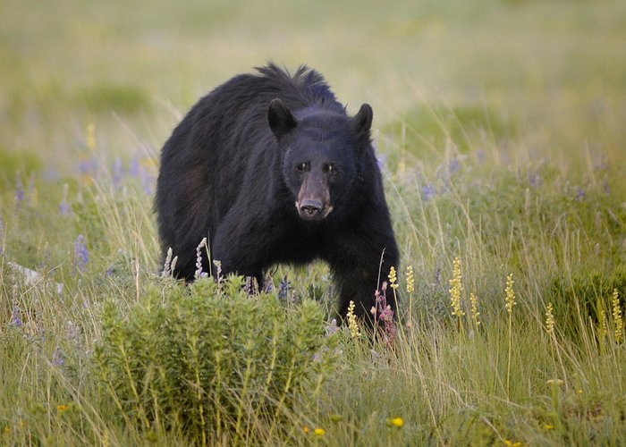Black Bear Greeting Card featuring the photograph Staring Me Down by Don Wolf