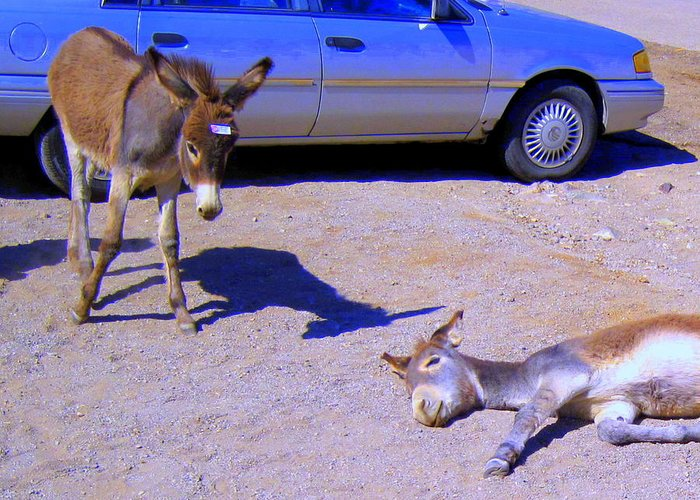 Wild Burro Greeting Card featuring the photograph Stop Don't Feed Me Or I Will Get A Belly Ache by Lessandra Grimley