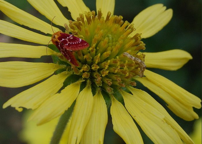 Flower Greeting Card featuring the photograph Strawberry Moth On A Yellow Flower by Beth Gates-Sully