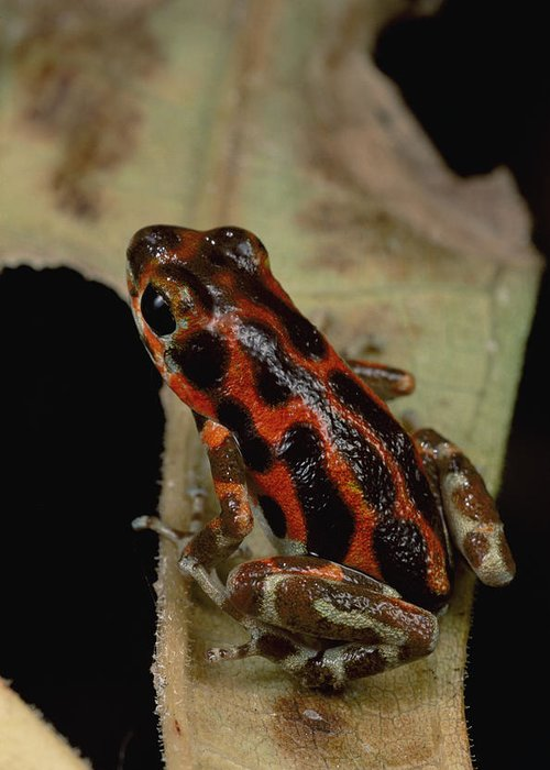 Mp Greeting Card featuring the photograph Strawberry Poison Dart Frog Dendrobates by Mark Moffett