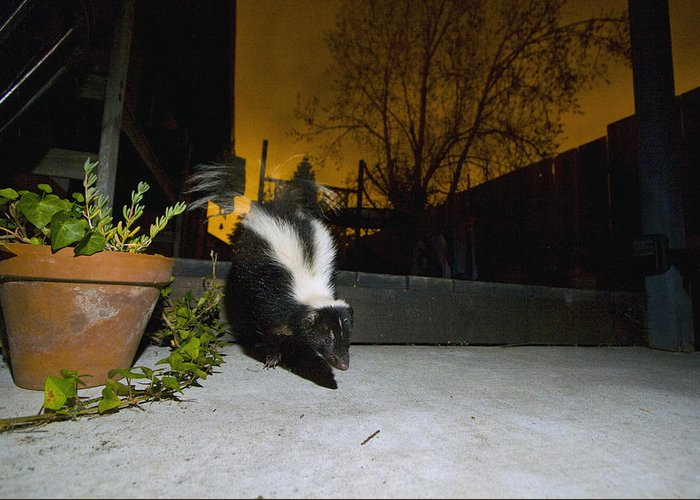 00442994 Greeting Card featuring the photograph Striped Skunk In Backyard At Night by Sebastian Kennerknecht