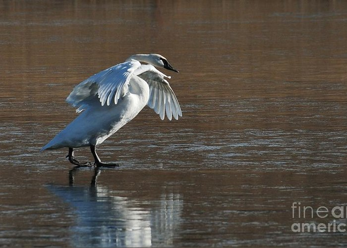 Swan Greeting Card featuring the photograph Strutting His Stuff by Joy Bradley