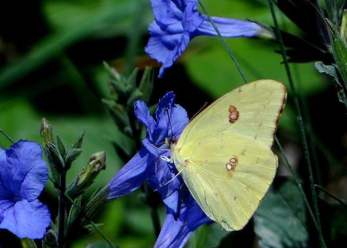 Sulphur Butterfly On Wildflower Greeting Card featuring the photograph Sulphur Butterfly On Wildflower by Betty Berard