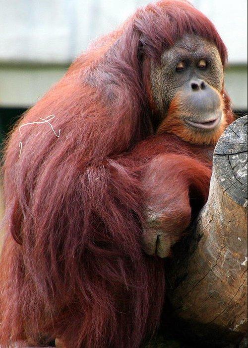 Sumatran Greeting Card featuring the photograph Sumatran Orangutan by Laurel Talabere