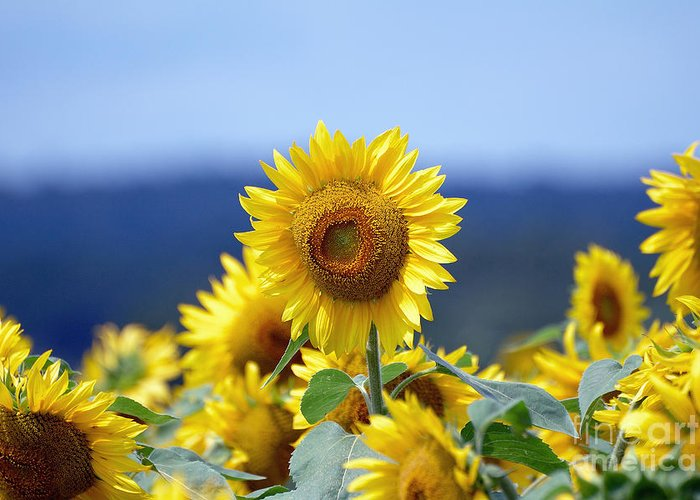 Sunflower Greeting Card featuring the photograph Summer Gold by Edward Sobuta