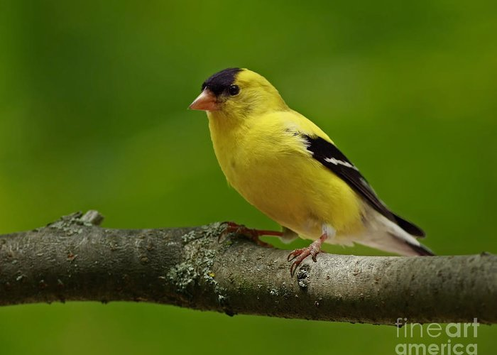 Bird Greeting Card featuring the photograph Summer Joy - Male Gold Finch by Inspired Nature Photography Fine Art Photography