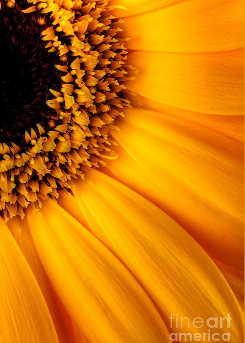 Sunflower Greeting Card featuring the photograph Sun Burst - Sunflower by Martin Williams