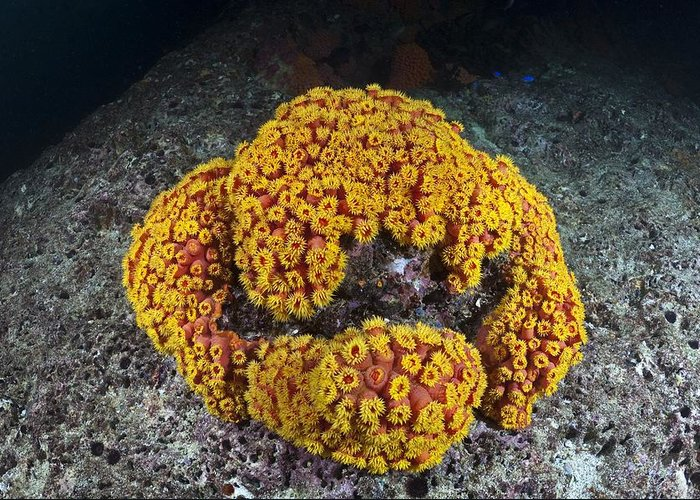Tubastrea Sp. Greeting Card featuring the photograph Sun Coral by Matthew Oldfield
