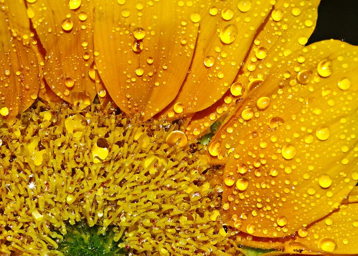 Sun Greeting Card featuring the photograph Sun Flower by Michelle Armstrong